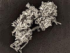 改造细菌助力生物燃料