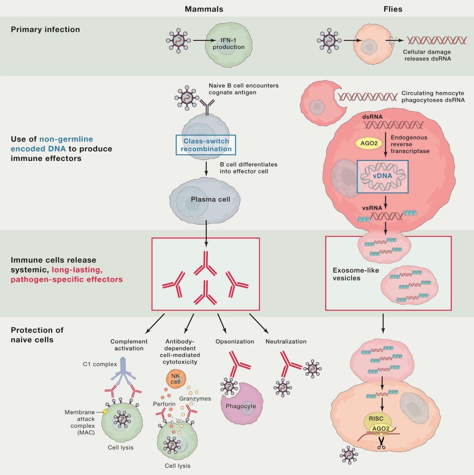 【Cell】外泌体介导了果蝇的抗病毒适应性免疫