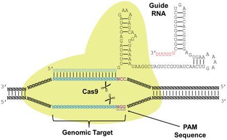 Nature:利用CRISPR/Cas9构建出更加强效的CAR-T细胞