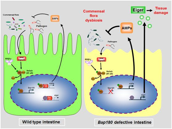 NatureMicrobiology:解析调控肠道免疫炎症平衡的新机制
