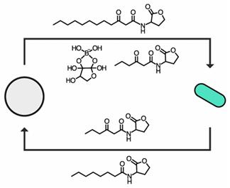 ACSCentSci:制造出可与细菌细胞通信的人工细胞