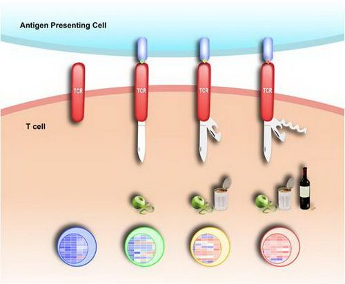 CellResearch:研究揭示TCR复合物结构动态性调控抗原特异性免疫应答新机制