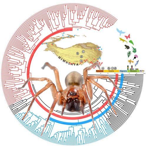 动物所通过隙蛛研究揭示生物演化与青藏高原隆升关系