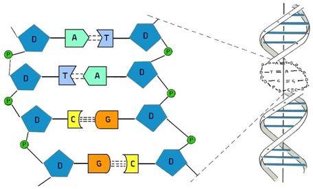 Science:揭示胞嘧啶甲基化调节人转录因子的DNA结合特异性机制