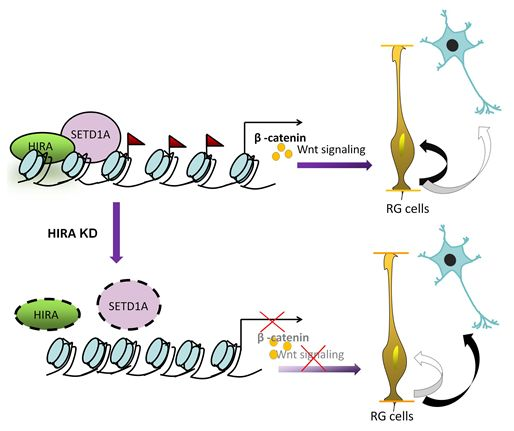 动物所发现组蛋白伴侣对脑发育的表观遗传调控新机制