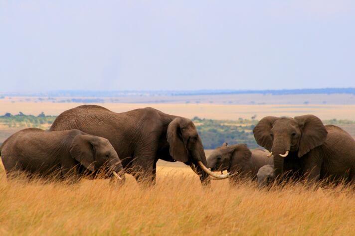 为何大象不会患癌?如何利用大象抵御癌症的机制帮助开发人类抗癌新疗法?