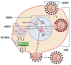 NatMed:学习和记忆不好?原因可能在于病毒感染导致的免疫反应
