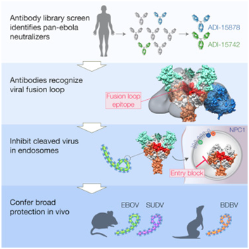 Cell:首次发现抵抗埃博拉病毒的人广谱性抗体