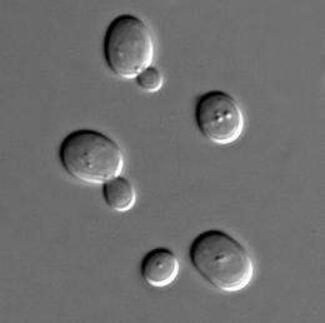 NatCommun:重磅!科学家成功对面包酵母进行改造使其产生青霉素分子