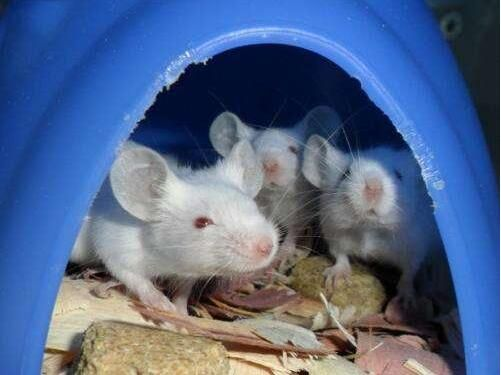 NatCommun:重磅!3D打印卵巢让雌性小鼠产下健康的幼鼠