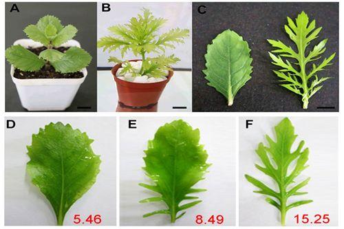 PlantCellReports:科学家确认水生异形叶发育机制研究的模式植物