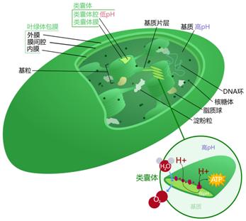 Science:鉴定出一种至关重要的叶绿体基因MOC1