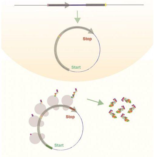 环状RNA也能制造蛋白质?