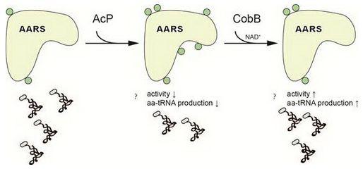 上海生科院发现乙酰化修饰可调控大肠杆菌中氨基酰-tRNA合成酶的活力