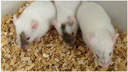 Science子刊:源自雌性奄美刺鼠的诱导性多能干细胞能够分化为精细胞或卵母细胞