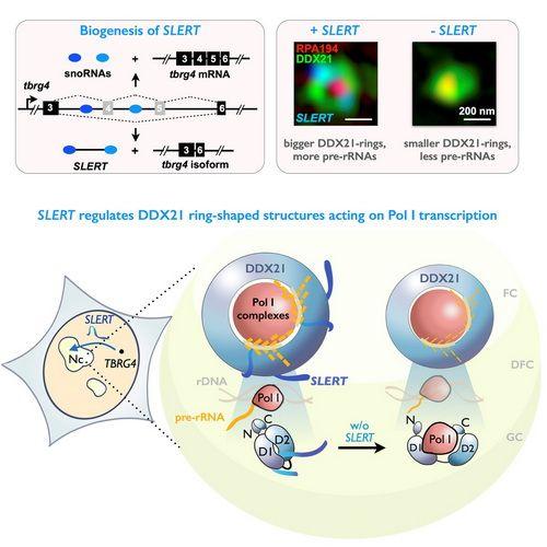 Cell:发现长非编码RNA对细胞核仁功能的重要调控机制