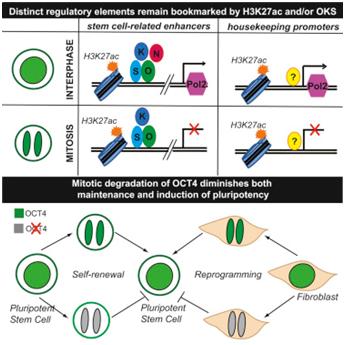 CellRep:揭示维持多能性干细胞身份的一种重要机制