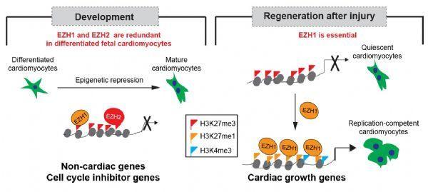 CirculationResearch:北京大学何爱彬研究组揭示调控器官发育与再生的表观遗传差异机制
