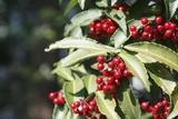 珊瑚莓叶子提取物可治疗哮喘,比传统药物更有效