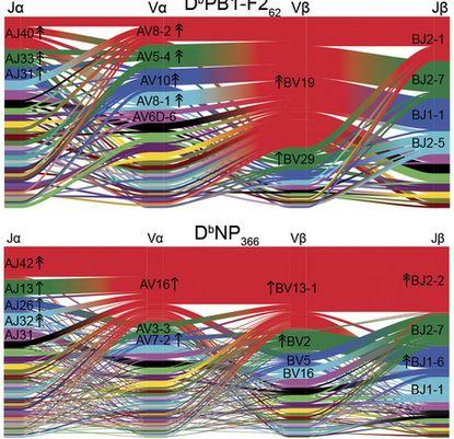 Nature:利用开发出的算法揭示T细胞免疫识别机制