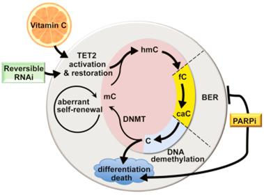 Cell:重大进展!维生素C可促进白血病干细胞死亡,有望用于治疗白血病