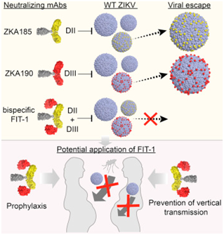 Cell:人双特异性抗体FIT-1具有治疗寨卡病毒感染的潜力