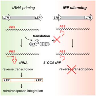 Cell:重大突破!发现一类新的小RNA分子保护哺乳动物基因组