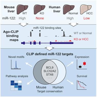 MolCell:揭示miR-122抵抗肝细胞癌机制