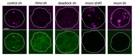 Nature:颠覆常规!揭示细胞产生piRNA新机制
