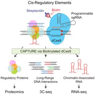 Cell:中美科学家开发出CAPTURE技术原位分析染色质相互作用