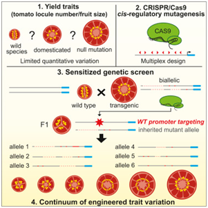 Cell:利用CRISPR/Cas9打破作物产量限制