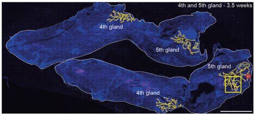 Cell:揭示出组织分枝模式的简约之美