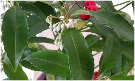 Science子刊:珊瑚莓叶子提取物有望治疗哮喘