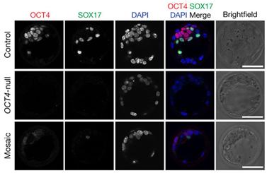 Nature:利用CRISPR/Cas9揭示OCT4基因在人胚胎早期发育中发挥着关键作用