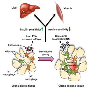 Cell:糖尿病研究新突破!脂肪组织巨噬细胞分泌的外泌体能够调节胰岛素抵抗性