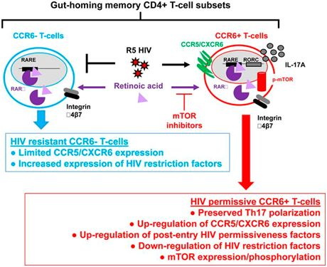 JCIInsight:重大发现!mTOR抑制剂可抑制肠道中的HIV复制