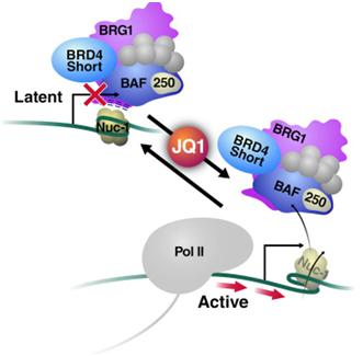 MolCell:HIV治愈研究重大进展!利用抗癌药物JQ1重新激活潜伏性HIV