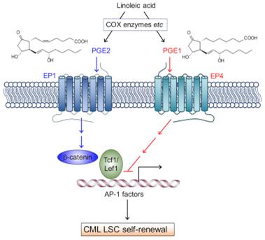 CellStemCell:前列腺素E可抑制白血病干细胞