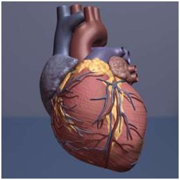 利用干细胞有望治疗心脏病