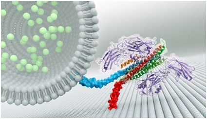 Nature:从结构上揭示神经元同步释放化学信号